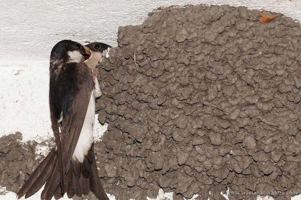 Avion comun (delichon urbicum) alimentando a sus pollos en el nido