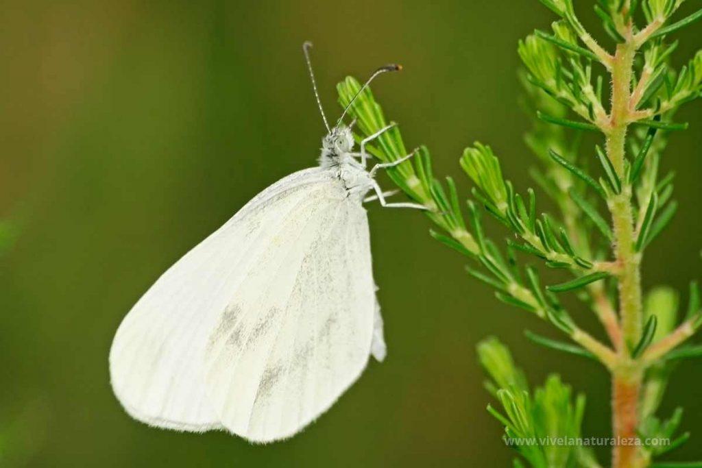 Mariposa blanca esbelta hembra (Leptidea sinapis)