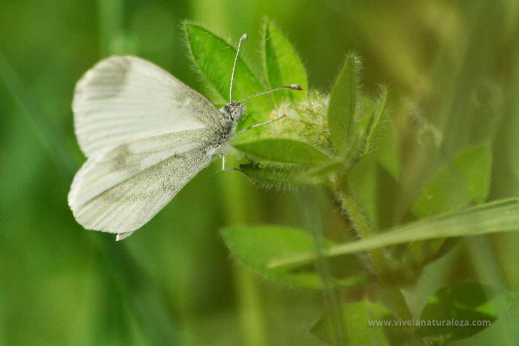 Mariposa blanca esbelta macho (Leptidea sinapis)