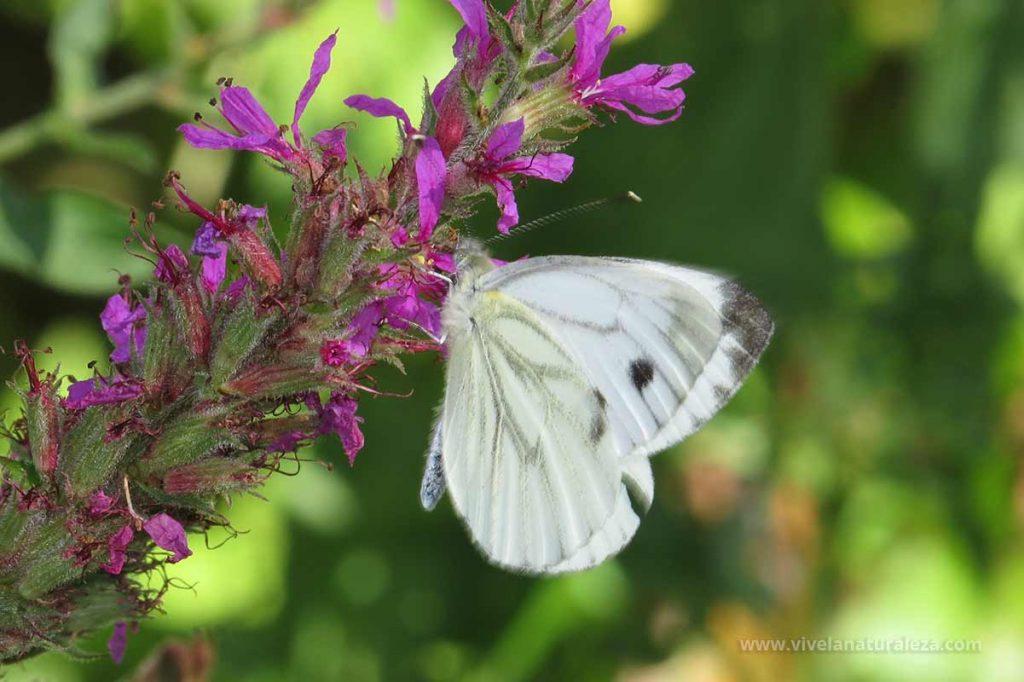 Hembra de blanca verdinervada (Pieris napi, Artogeia napi)