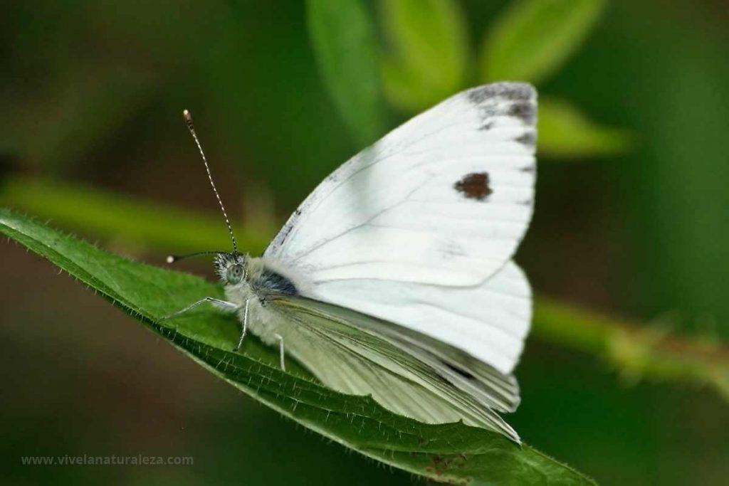 Macho de blanca verdinervada (Pieris napi, Artogeia napi)