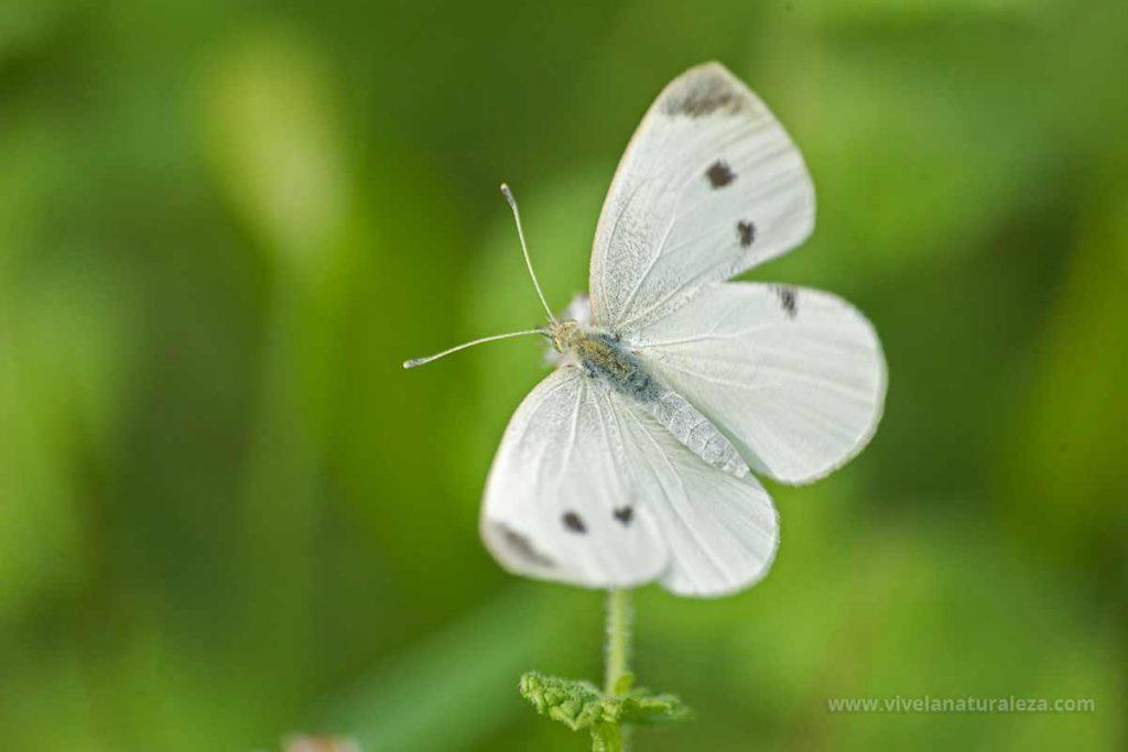 Mariposa blanquita de la col hembra (Pieris rapae, artogeia rapae)