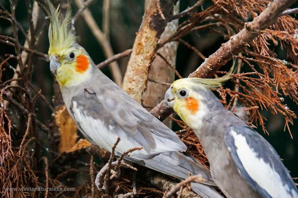 Cacatúa ninfa - Nymphicus hollandicus