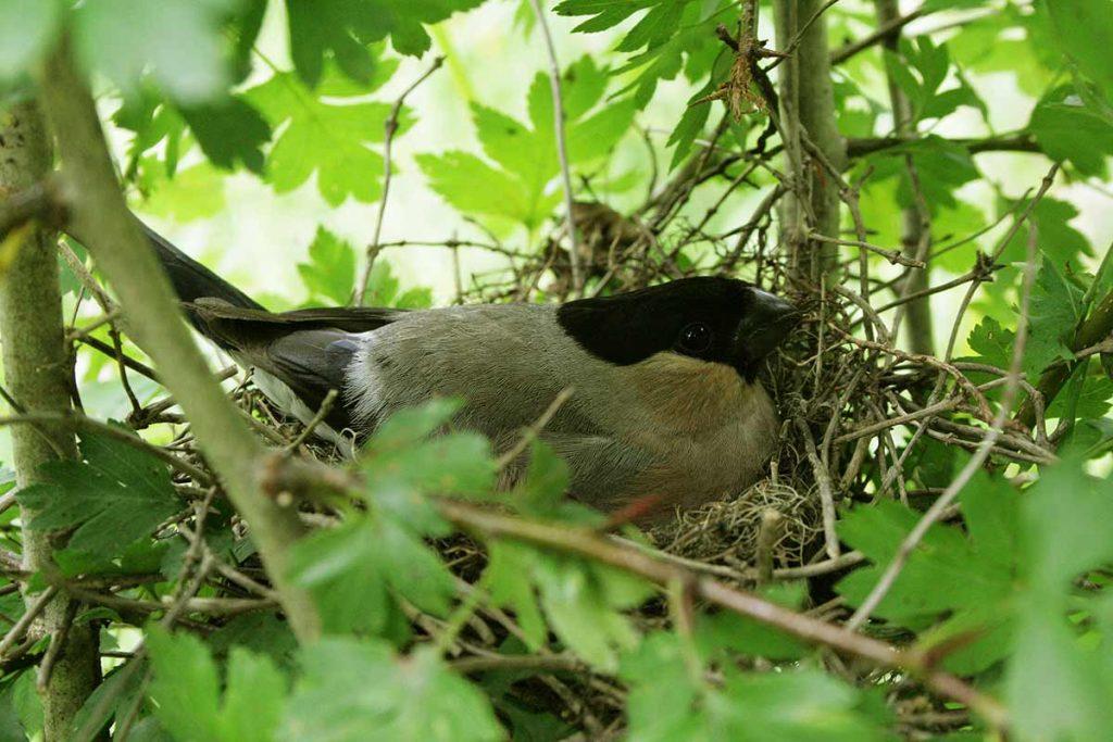Hembra de camachuelo comun (Pyrrhula pyrrhula) en el nido.
