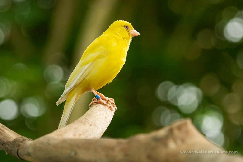 Canario doméstico - Serinus canaria domestica