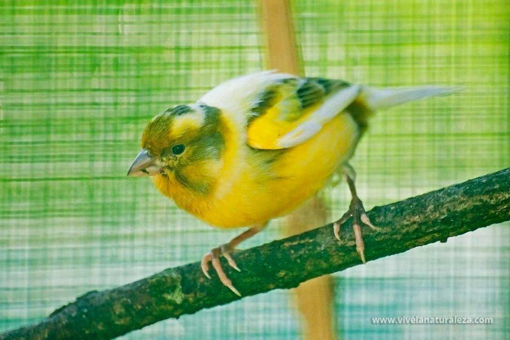 Canario domestico (Serinus canaria domestica)