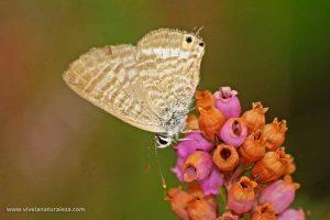 mariposa canela estriada (Lampides boeticus)