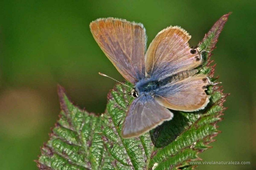 Hembra de la de la mariposa canela estriada (Lampides boeticus) con las alas abiertas