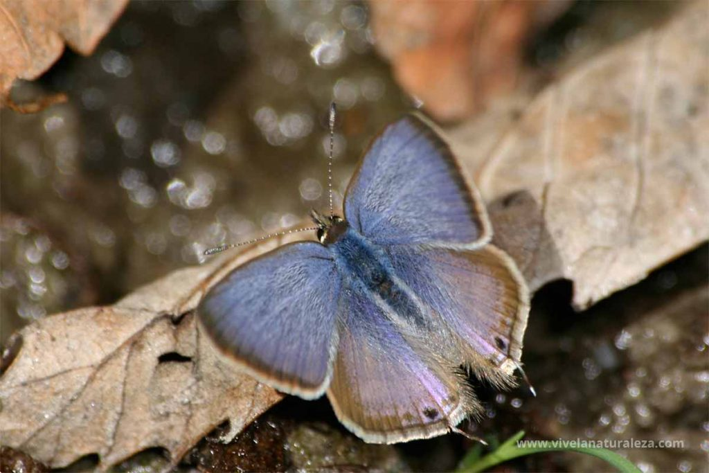 Macho de la de la mariposa canela estriada (Lampides boeticus)