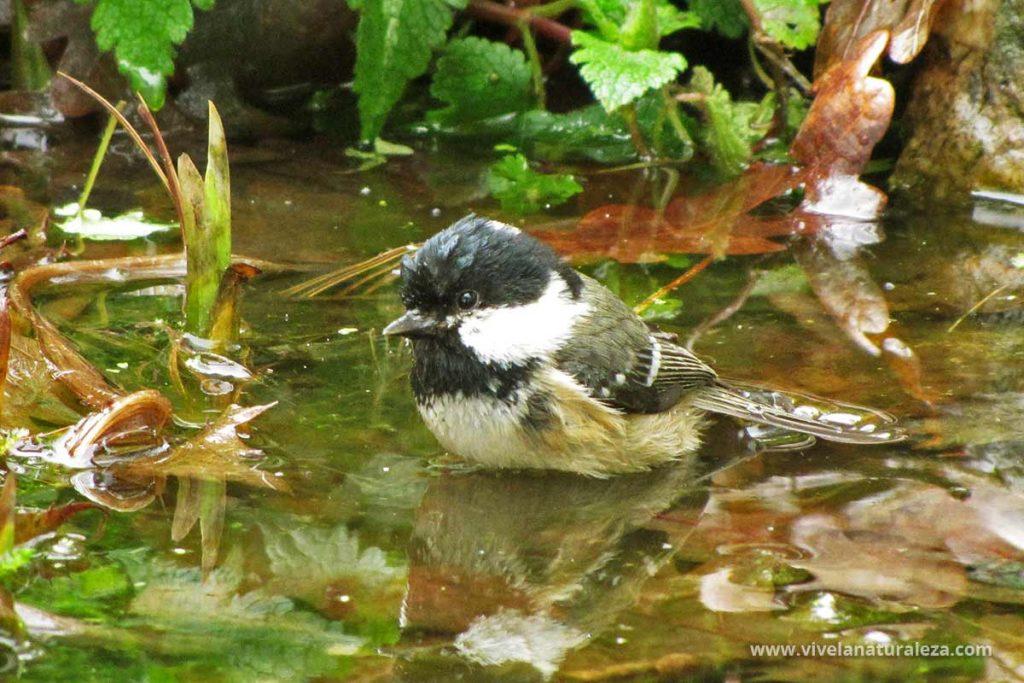 Carbonero garrapinos (Periparus ater, Parus ater) dándose un baño