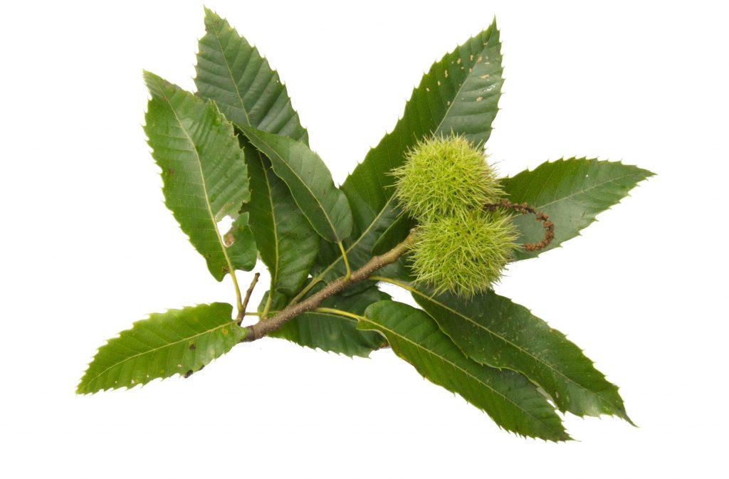Hojas y frutos del castaño (Castanea sativa)