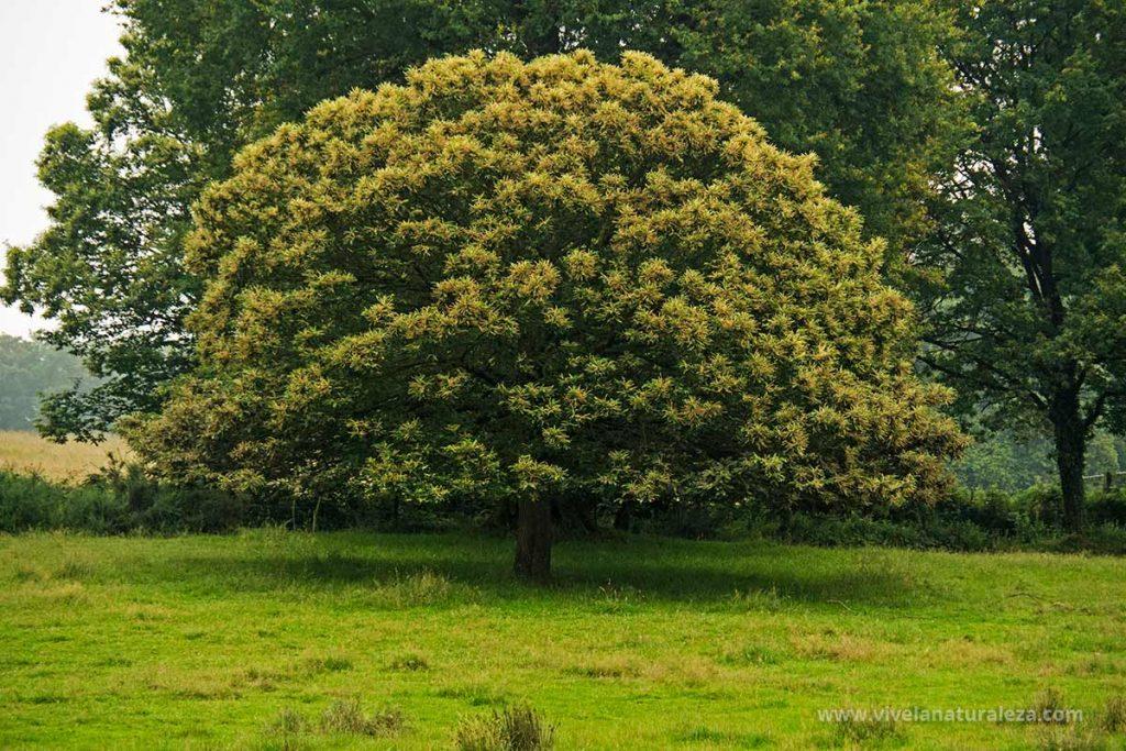 Arbol del Castaño (Castanea sativa) en un prado