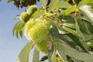 castaño (Castanea sativa)