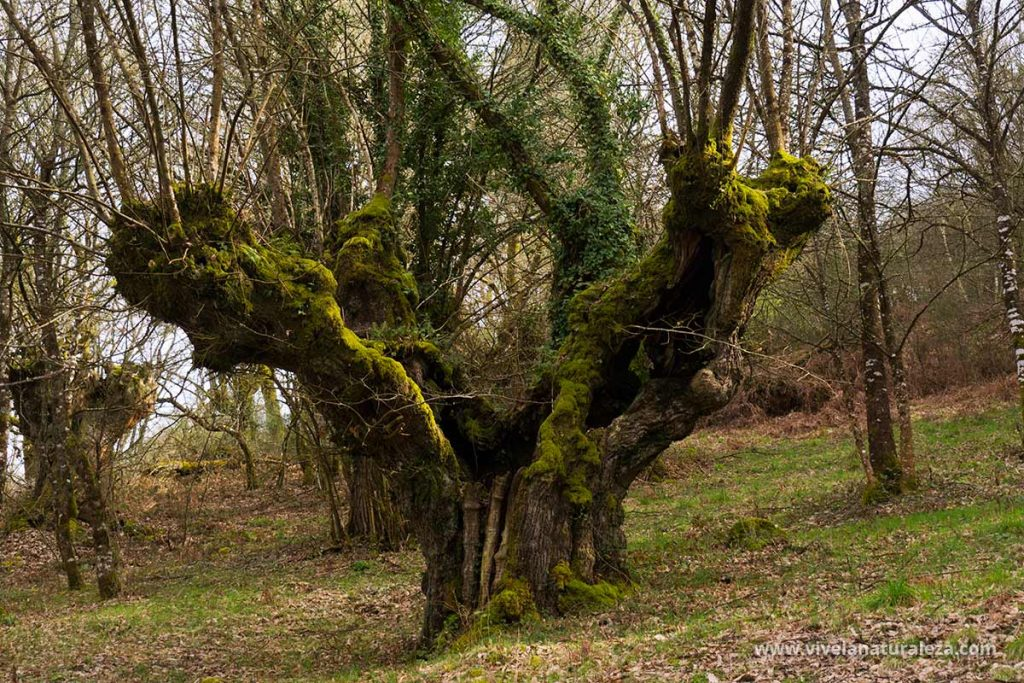 Castaño viejo con el tronco ancho y hendido