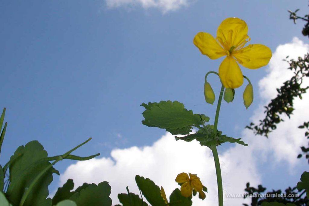 Flor de celidonea mayor (Chelidonium majus), también llamada verruguera, hierba verruguera, hierba de las golondrinas o golondrinera.