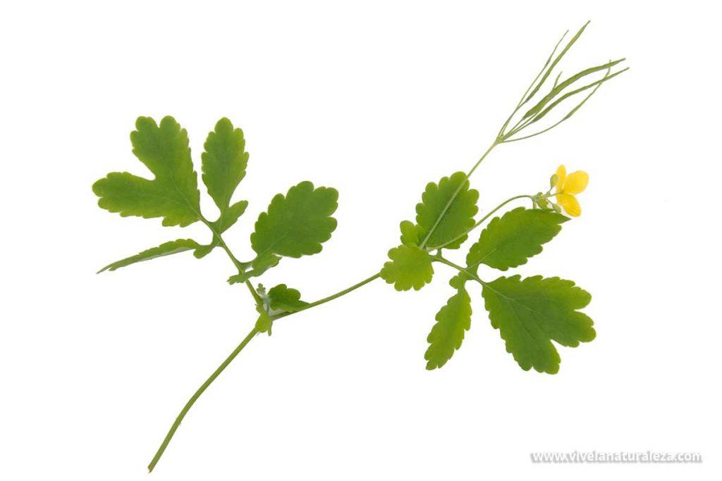 celidonea mayor (Chelidonium majus) contra un fondo blanco Esta planta medicinal también se conoce como verruguera, hierba verruguera, hierba de las golondrinas o golondrinera.