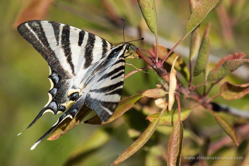 Mariposa chupaleche o podalirio (Iphiclides podalirius) posada en una planta