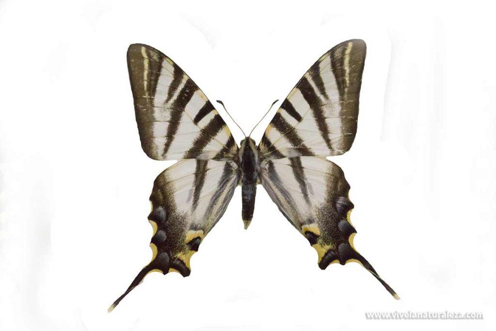 Mariposa chupaleche o podalirio (Iphiclides podalirius) sobre fondo blanco