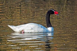 Cisne de cuello negro - Cygnus melancoryphus