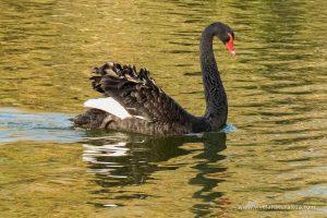 Cisne negro (Cygnus atratus)