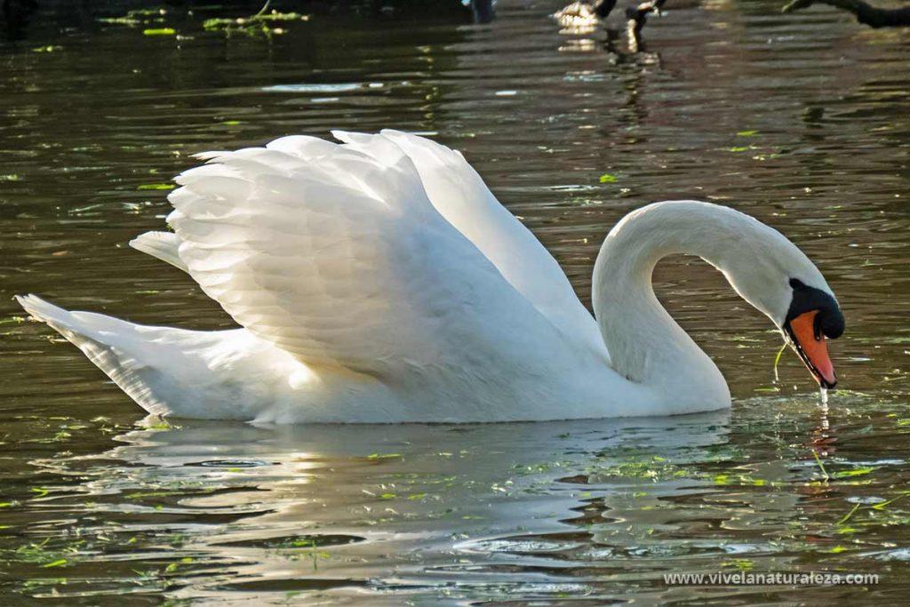 Cisne blanco - Cygnus olor
