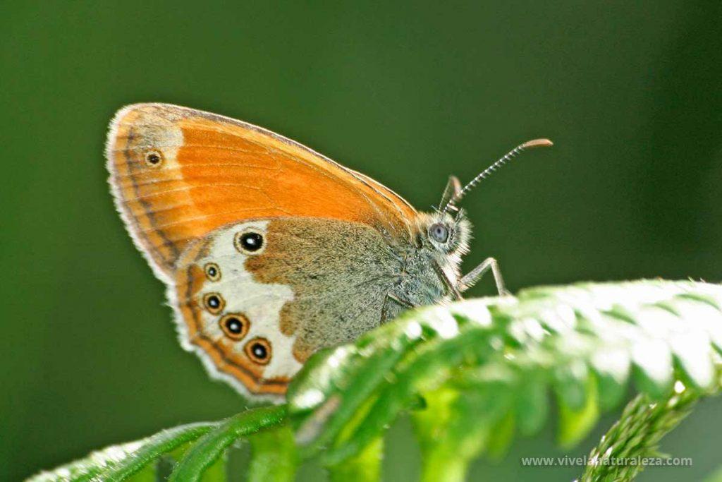 mariposa ninfa perlada (Coenonympha arcania)