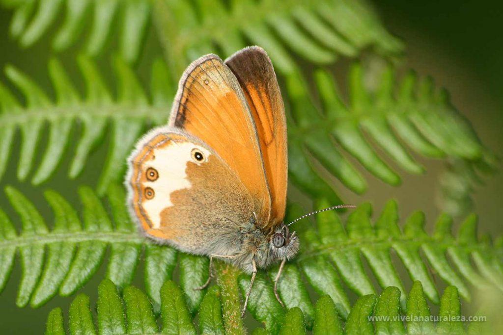 mariposa ninfa perlada o mancha leonada (Coenonympha arcania)