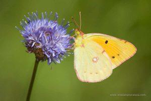 mariposa colias común (Colias croceus = Colias crocea)