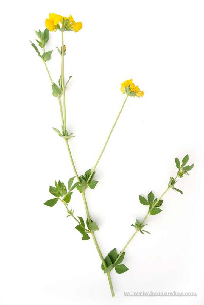 Cista del cuernecillo (Lotus corniculatus) sobre fondo blanco