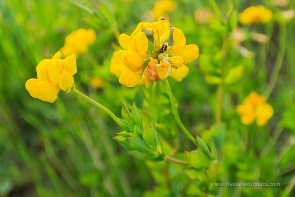 cuernecillo (Lotus corniculatus)