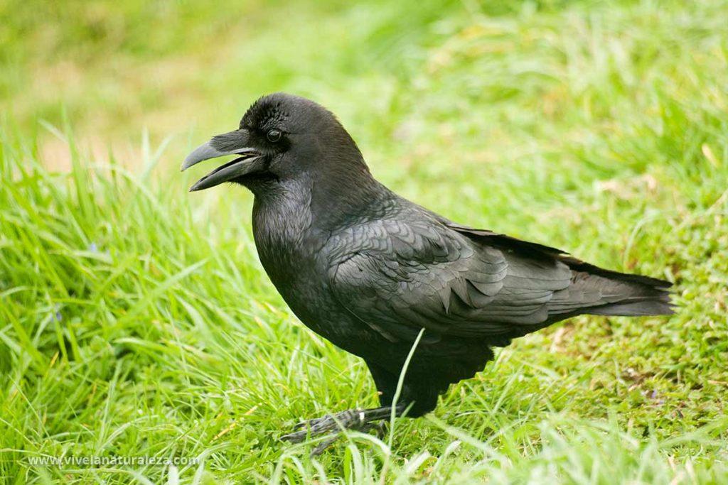 Gran cuervo - Corvus corax