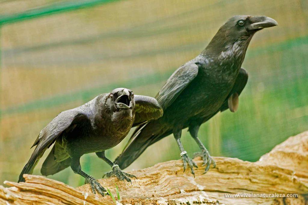 Dos cuervos sobre un tronco (Corvus corax). También se conocen cono cuervo grande, cuervo comun o gran cuervo