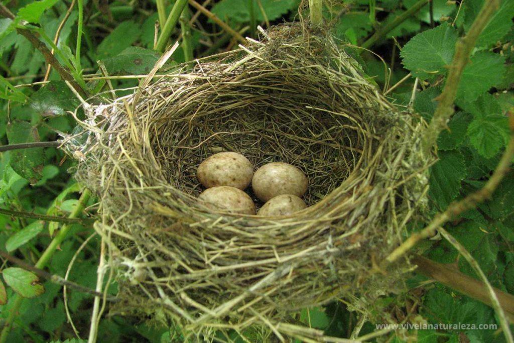Nido de curruca capirotada (Sylvia atricapilla) con cuatro huevos.
