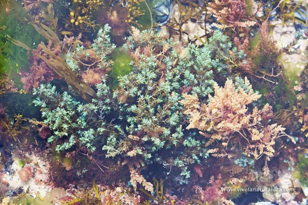 Cystoseira tamariscifolia