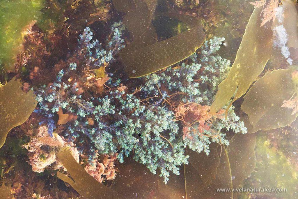Cystoseira tamariscifolia en un charco que deja entre las rocas la marea baja