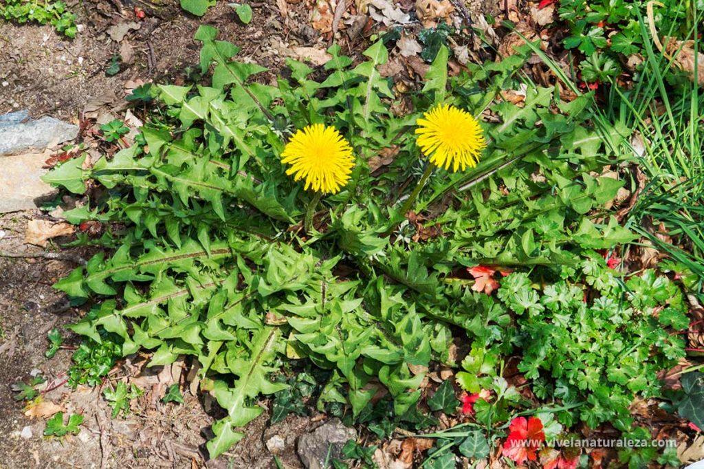 Planta de diente de leon (Taraxacum officinalis) También llamado achicoria amarga o amargon