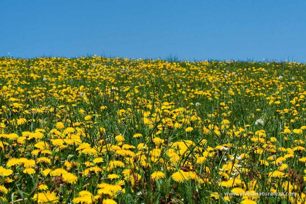 Pradera repleta de flores de diente de leon (Taraxacum officinalis) También llamado achicoria amarga o amargon