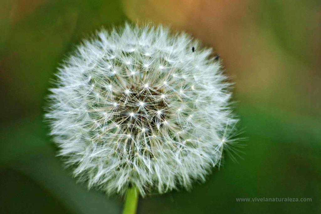 semillas de diente de leon (Taraxacum officinalis) También llamado achicoria amarga o amargon
