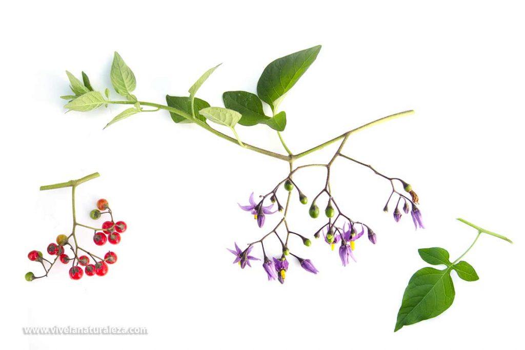 Hojas, flores y fruto de dulcamara (Solanum dulcamara) sobre fondo blanco
