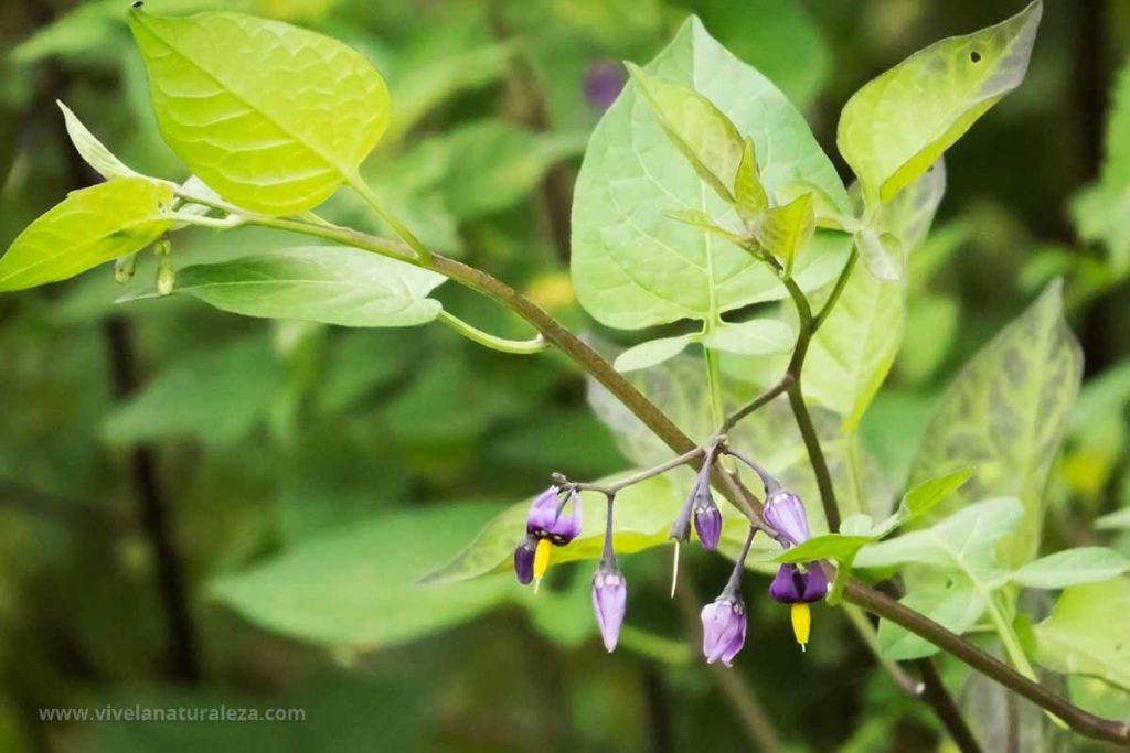 Planta y flores de dulcamara (Solanum dulcamara)