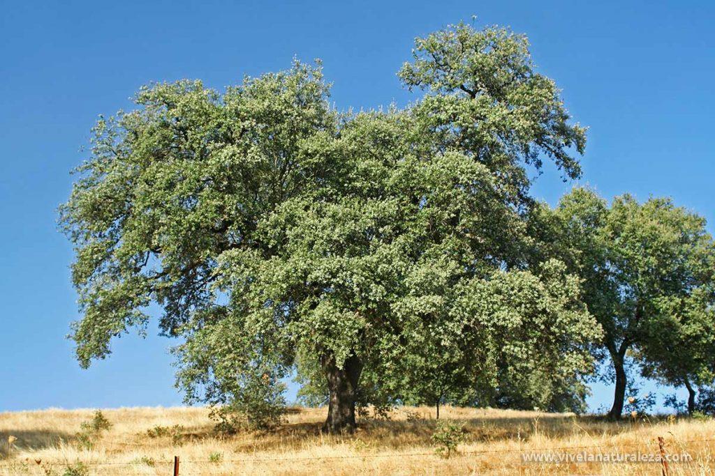 Vista del árbol de la encina (Quercus ilex)