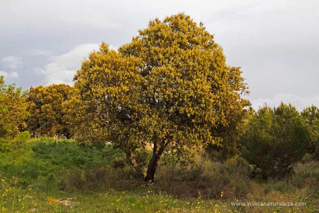 Encina )Quercus ilex) en flor