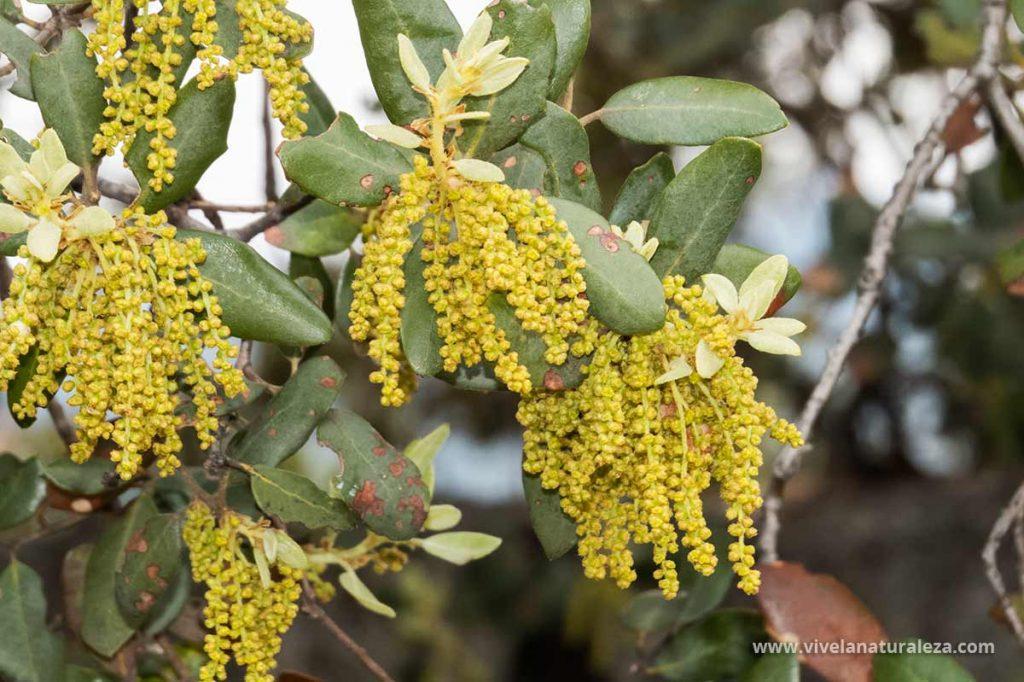 Flores de la encina (Quercus ilex)