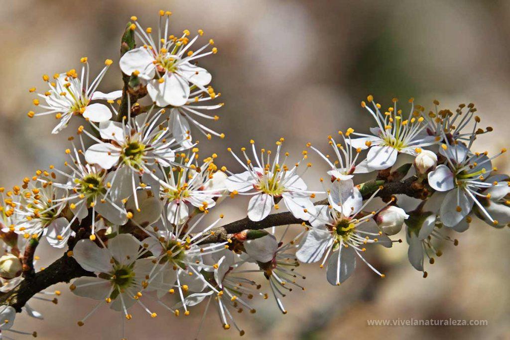 Flor del endrino (Prunus spinosa)