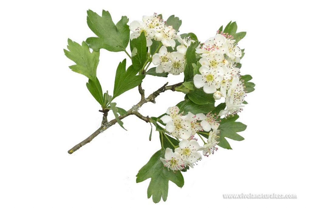 Flores de espino blanco (Crataegus monogyna) sobre fondo blanco. También se conoce como espino albar o majuelo