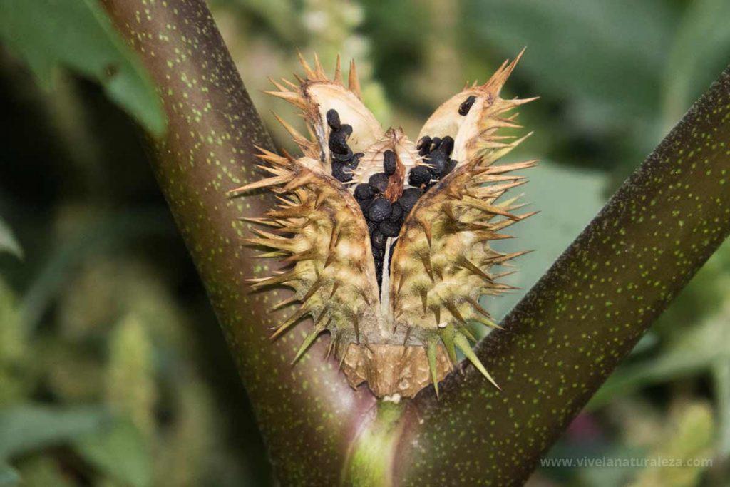 Semillas de estramonio (Datura stramonium)