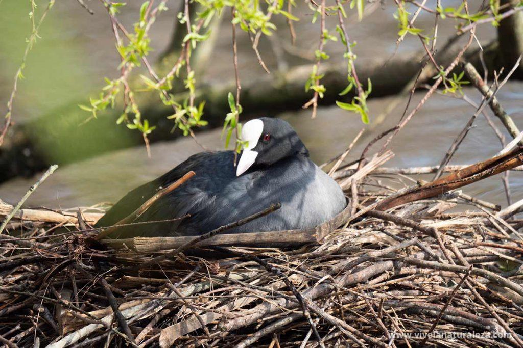 Focha comun (Fulica atra) en su nido