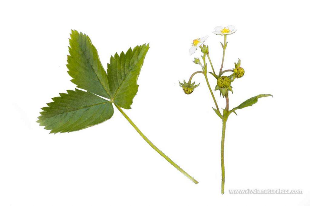 Hojas, flores y frutos verdes de la fresa silvestre (fragaria vesca)