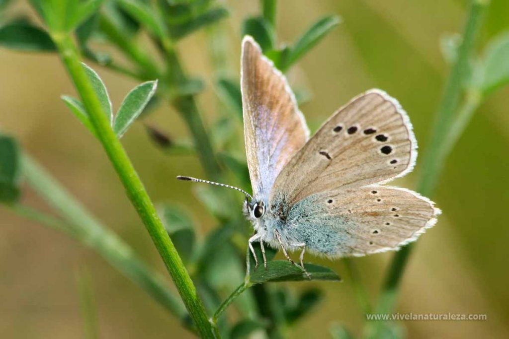 mariposa manchas verdes (Glaucopsyche Alexis)
