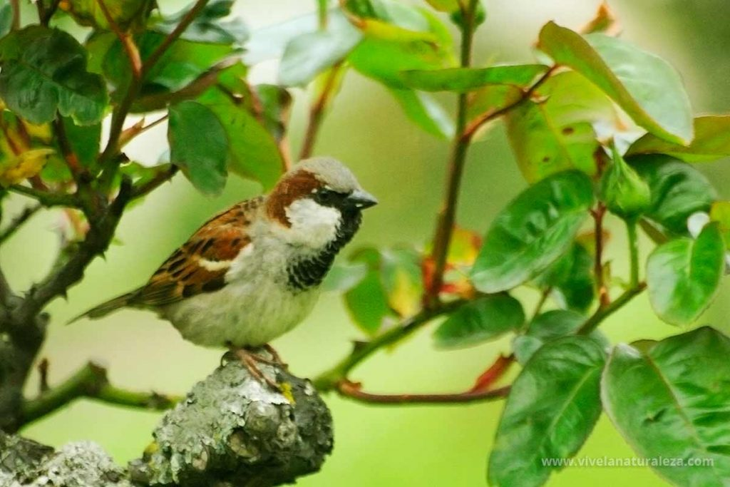 Gorrion comun macho (Passer domesticus)